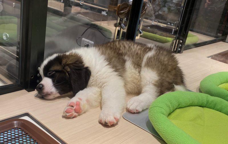 犬が寝ているペットストア